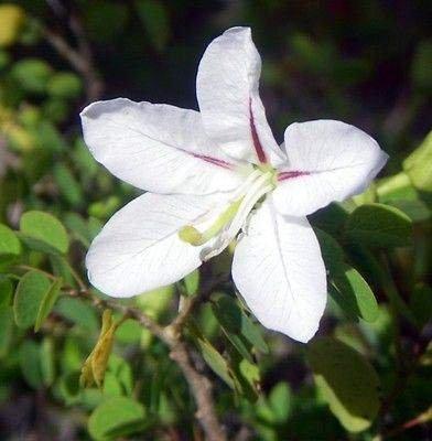 Bauhinia natalensis - Natal Dainty - Tropical Plant Rare Graines Bonsaï (5)