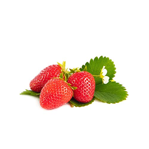 20 Furore Erdbeerpflanzen - Frigo Pflanzen - Immertragend - Pflanzzeit: März/April - Ernte: Juni bis September - Erdbeersetzlinge/Erdbeerstecklinge - Erdbeeren von Erdbeerprofi.de