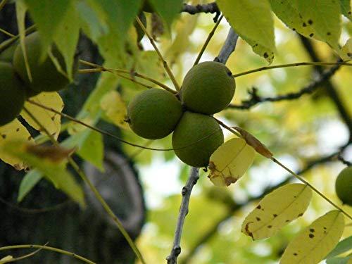 PLANT Juglans Nigra (Nogal Negro)