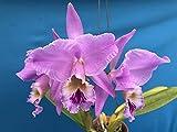 "FARMERLY Cattleya labiata 'Tipo' Art Orchid Cool Big Duftstoffe 2.5"" NBS by -"