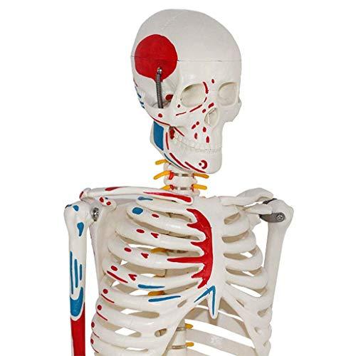 Modelo Educativo Modelo anatómico Esqueleto - 85 cm Tamaño Natural Esqueleto Humano Modelo anatómico de enseñanza - Esqueleto médico Completo Modelo anatómico Humano