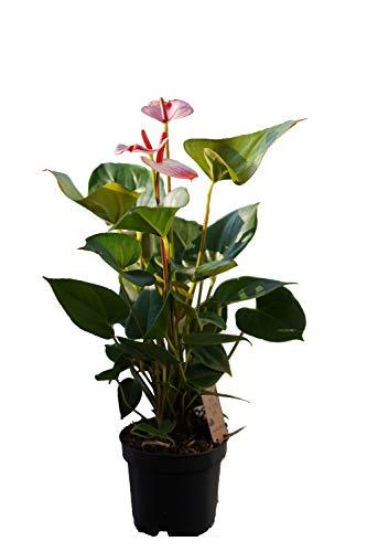Flamingoblume, (Anthurium), pflegeleichte Zimmerpflanze, im 12cm Topf, (rosa-weiße Sorte: Hotlips)