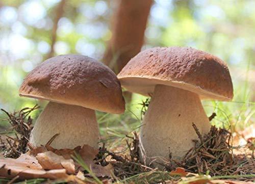 Mycélium de Cèpes de Bordeaux Kit de culture champignons 15ml (Tube, 15ml)