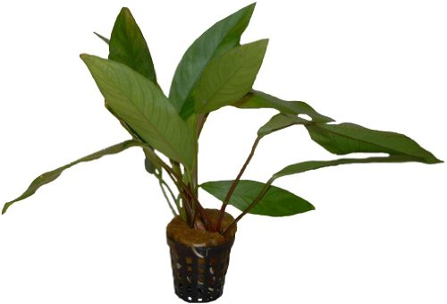 5 Töpfe Anubia lanceolata, Aquariumpflanzen, Aufsitzerpflanzen, barschfest