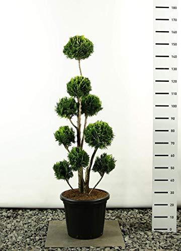 Hecken Formschnitt Gartenbonsai - Chamaecyparis lawsoniana Stardust - Zypresse - Multibol - verschieden Größen - (Gesamthöhe 150-170 cm - Topf 20 Ltr.)