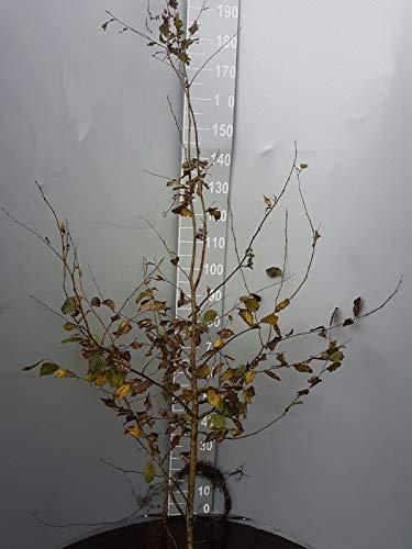 10 Hainbuchen 150-180cm frisch vom Feld Gartenhecke Heckenpflanzen Carpinus betulus Wurzelware
