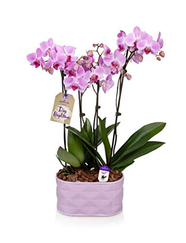 Orchid Flower Plant, Pink Double Spike in 10-Inch Lavender Ceramic Container, From Hallmark Flowers