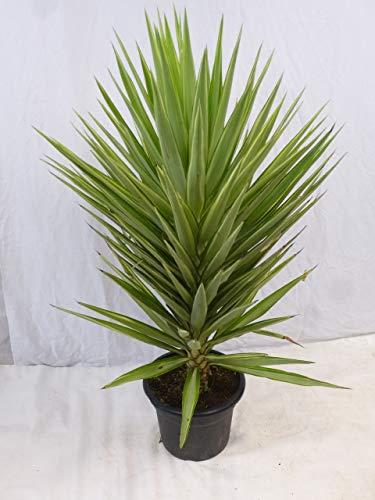 """[Palmenlager] Yucca elephantipes\""""Jewel\"""" 140/150 cm // Zimmerpflanze - Indoor & Outdoor"""