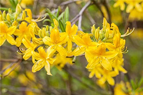 Rhododendron lut. 'Goldtopas' Sommergrüne Azalee 40-60cm im Topf gewachsen