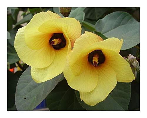 Hibiscus tiliaceus - Coton-arbre - Cottonwood - 10 graines