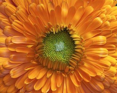Ringelblume Calendula officinalis 1000 Samen