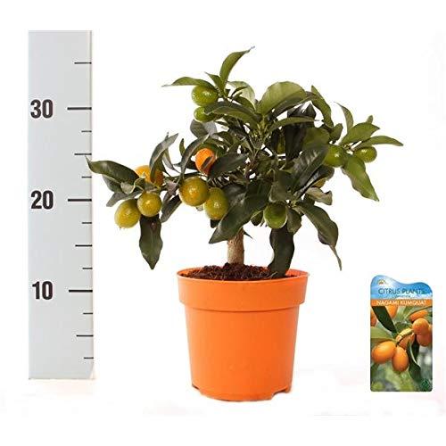 Nagami OPHELIA Kumquat mit Frucht Fortunella margarita Citrus Zitrus 30 cm Zitruspflanze