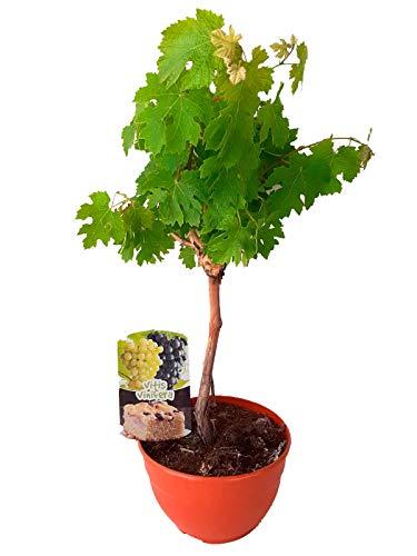 Vid/Parra (Vitis Vinifera) Árbol frutal. Perfecto para huerto urbano, bonsai o para plantar en exterior. Vivero especializado en plantas del mediterráneo