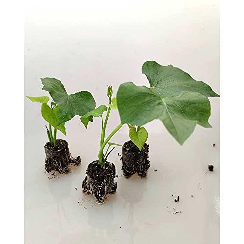 Gemüsepflanzen - Süßkartoffel/Erato® Pleno - Ipomoea batatas - 3 Pflanzen im Wurzelballen