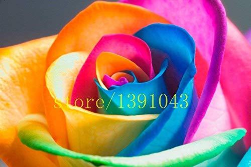 200 seltene regenbogen rose samen,...