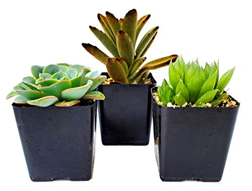 Fatplants Succulent Plants In Gift Box   Rooted In 2 Inch Planter Pots With Soil   Living Indoor Or Outdoor Plants   Home Decor, Gifts, Shower & Wedding Decorations (3)
