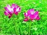 500 Semillas china milkvetch astrágalo sinicus, plantas bonsai semillas Hogar y Jardín Bricolaje
