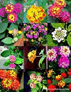 Mezcla de color Lantana Floración arbusto Verbenas mariposa jamón y huevo de Semillas 100 semillas