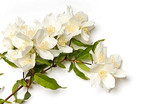 Jasmine (Jasminum officinale grandiflorum) Absolute Essential Oil 15 ml / 0.5 oz - 100% Pure, Concentrated, Undiluted