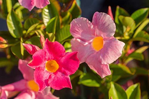 50 Pcs / sac Rare Dipladenia Sanderi Graines vivaces Escalade Bonsai Mandevilla Sanderi fleurs ornementales d'extérieur Jardin Plante 8