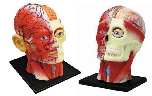 No.11 head cross-sectional anatomy model Skynet three-dimensional puzzle 4D VISION Human Anatomy (japan import)