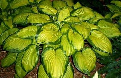 Stained Glass Hosta - Flower Healthy Established Rooted - 1 Plant in Quart Pot