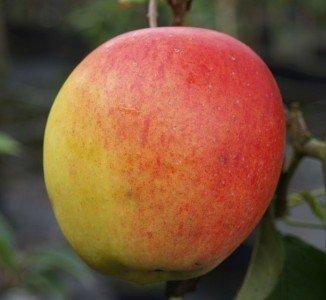 Rebella®, vielfach resistenter Herbstapfel, Halbstamm, 150-170cm, im Topf