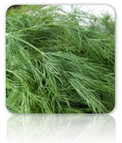 Samen-Paket Nicht Pflanzen: 300 - Seeds: Dill Bouquet Seeds - Köstliches & Sooo Tasty !!!! Groß auf Seedatoes-