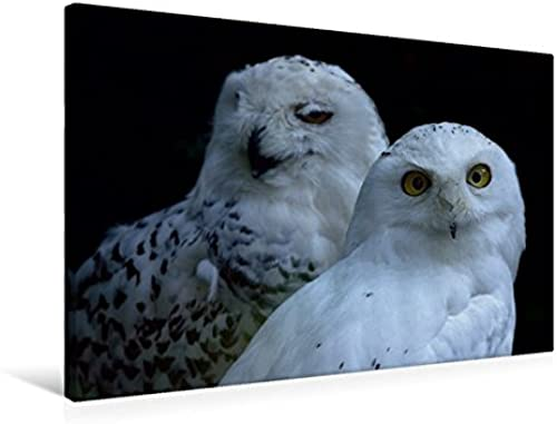 Oiseaux de préhension - Chouette de Neige, 75 x 50 cm