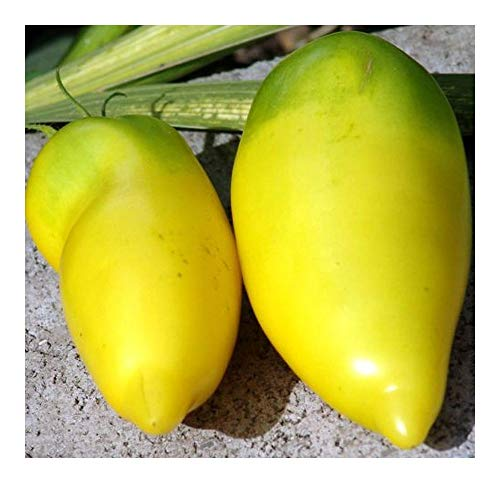 Tomate Roman Candle - tomate jaune - 20 graines