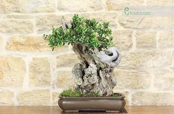Pollice verde bonsai di olivo (5) M024