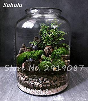 100 Pcs rares mousse verte Graines exotiques Graines Bonsai Moss Belle Moss Boule décorative Jardin créatif herbe Graines Plante en pot 6