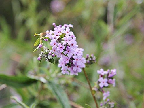Schmetterlingsflieder - Rosafarbene Blüte - Buddleja alternifolia - Containerware 60-100 cm - Garten von Ehren®