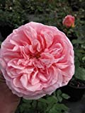 Englische Rose Abraham Darby - Rosa Abraham Darby - rosa-apricot-gelb - Duft++++ - Austin-Rose -
