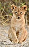 Notebook: Lion Cub 5' x 8' 150 Ruled Pages
