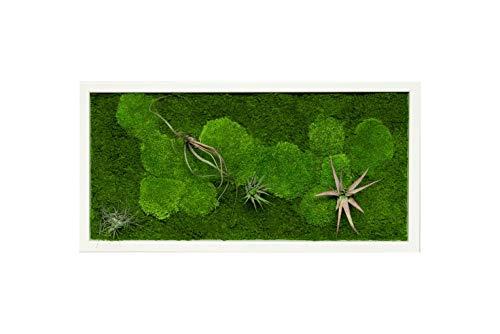 Pflanzenbild kaufen Moosbild mit lebenden Pflanzen Wandbild Moos Wanddeko Poster rechteckig (Weiß, 60x30 cm)