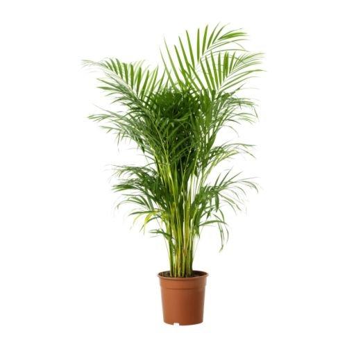 Ikea CHRYSALIDOCARPUS LUTESCENS -Topfpflanze Areca Palme - 24 cm