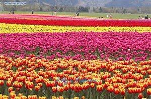100pcs graines Tulip, Tulip agesneriana, aromatiques graines de fleurs des plantes en pot plus belles plantes vivaces colorées Tulip Garden 4