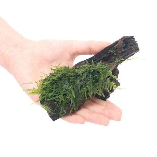 (水草)育成済 ジャイアント南米ウィローモス付 流木 SSサイズ(約10cm)(無農薬)(1本) 北海道航空便要保温