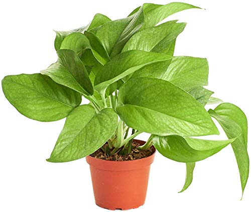 Shop Succulents | Vining Collection | Hand Selected, Air Purifying Easy Care Live Indoor/Outdoor Pothos Devil's Ivy House Plant in...