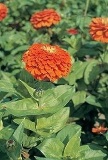 Zinnia Benary Giant Orange 250 seeds