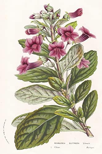 Rehmannia Glutinosa - China Blume flower flowers Blume Botanik botanical botany