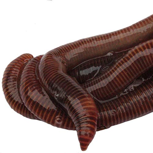Lowest Prices! HomeGrownWorms.com - 550 Red Wigglers - Composting Red Worms - Live Delivery Guarante...