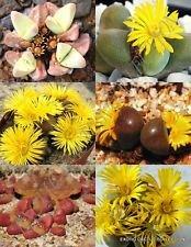 TANQUANA Mix, Rare Succulent Cactus Pierres vivantes exotiques Desert Seed 15 Seeds