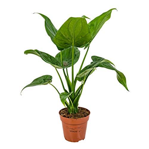 Elefantenohrpflanze | Alocasia...