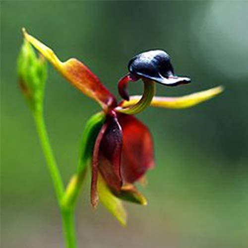 Harddo 30 Stücke Seltene Fliegende Ente Orchidee Blumensamen Topf Blühende Pflanze Garten Decor