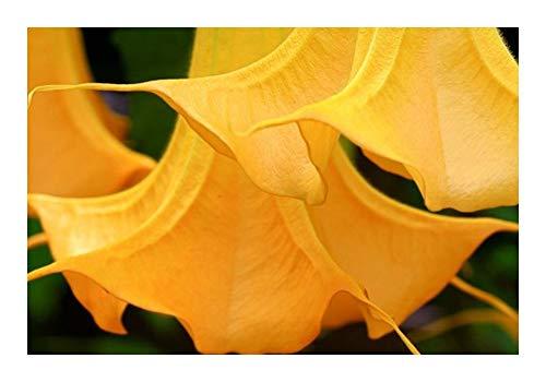 Brugmansia Orange Glory - Trompette des Anges - 5 graines