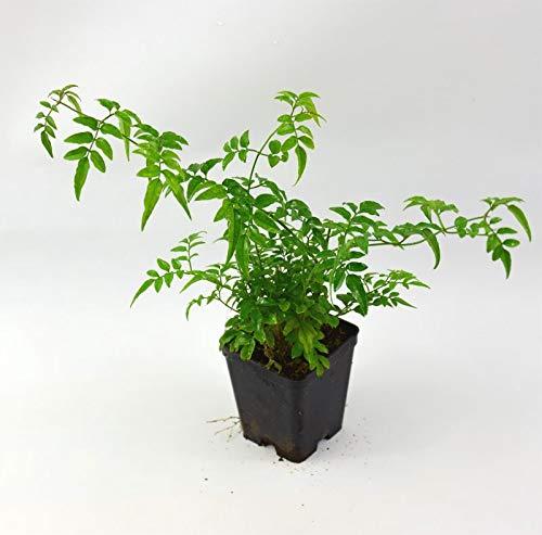 Pianta Gelsomino Polyantum, Vaso 7cm, Altezza 10/15cm