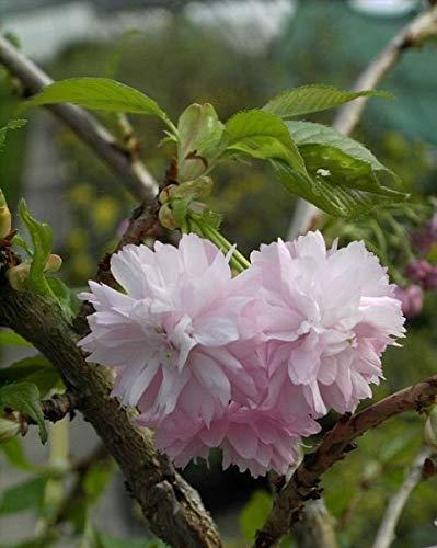 Japanische Hänge-Zierkirsche Kiku-shidare-Zakura - Japansiche Blütenkirsche - Japanische Nelkenkirsche - Prunus serrulata Kiku-shidare-Zakura (60-100)