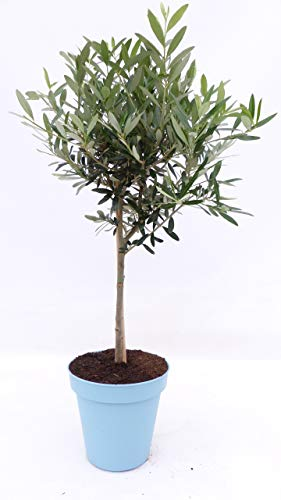 im Pflanzkübel: Olivenbaum Stamm Olive...